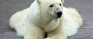 Polar Bears--headed for extinction?